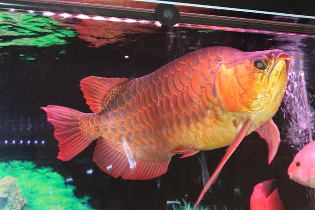 Loài cá đỏ như máu, mang ý nghĩa quyền quý và thịnh vượng được đại gia Việt săn mua - Ảnh 12.