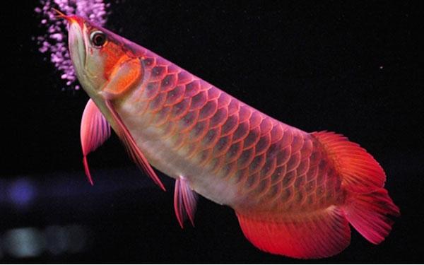 Loài cá đỏ như máu, mang ý nghĩa quyền quý và thịnh vượng được đại gia Việt săn mua - Ảnh 1.