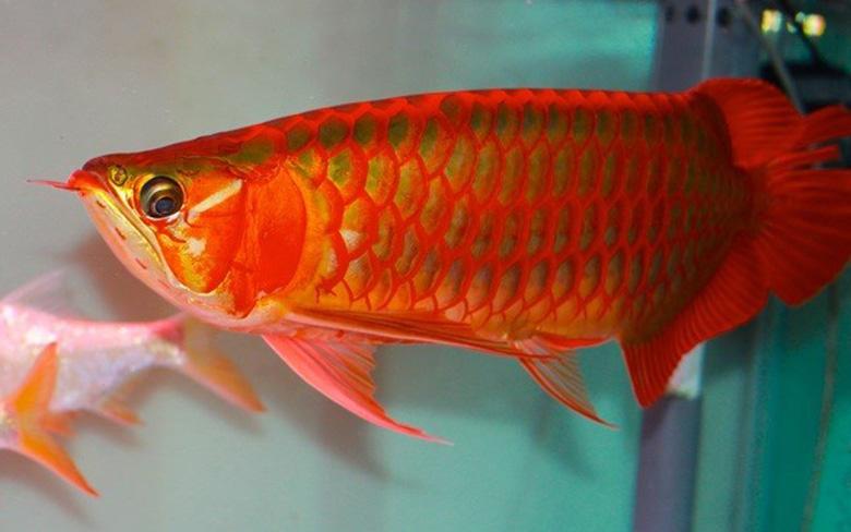 Loài cá đỏ như máu, mang ý nghĩa quyền quý và thịnh vượng được đại gia Việt săn mua - Ảnh 2.