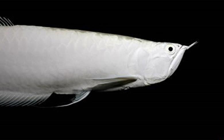 Loài cá đỏ như máu, mang ý nghĩa quyền quý và thịnh vượng được đại gia Việt săn mua - Ảnh 3.