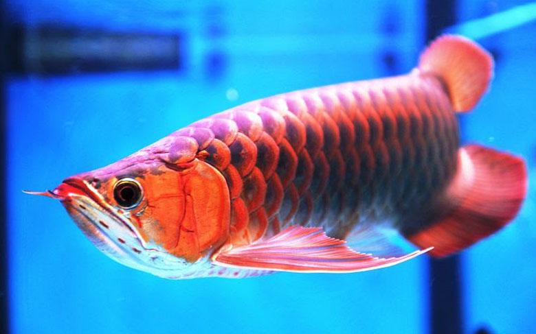 Loài cá đỏ như máu, mang ý nghĩa quyền quý và thịnh vượng được đại gia Việt săn mua - Ảnh 7.