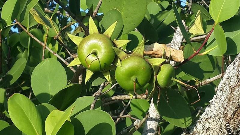 Loài cây mọc hoang, được người miền Tây chế biến món ăn dân dã, xuất khẩu sang nước ngoài bán trong siêu thị - Ảnh 2.