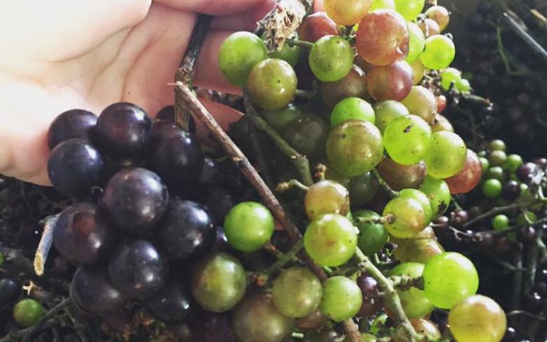 Loại nho mọc hoang ở bìa rừng Tây Bắc, ăn thì chua loét, giá chẳng kém cạnh nho nhập ngoại mà vẫn hút khách Hà thành - Ảnh 6.