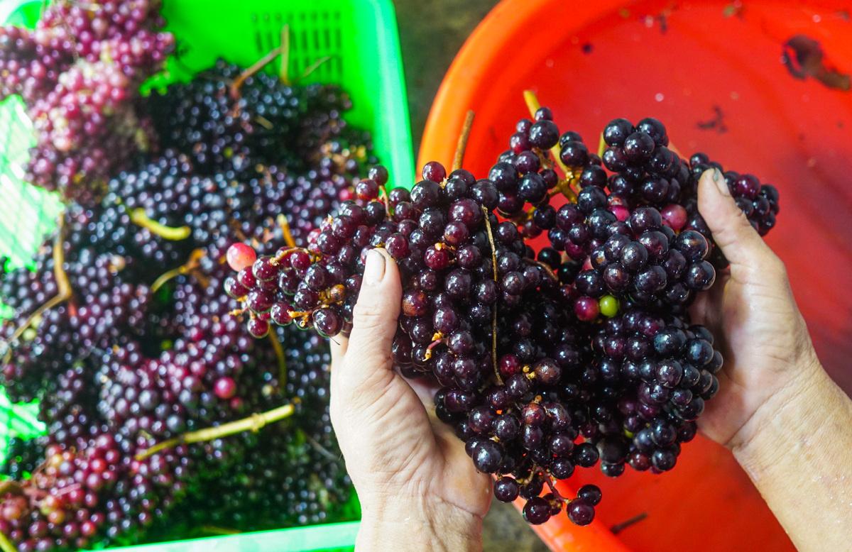 Loại nho mọc hoang ở bìa rừng Tây Bắc, ăn thì chua loét, giá chẳng kém cạnh nho nhập ngoại mà vẫn hút khách Hà thành - Ảnh 5.