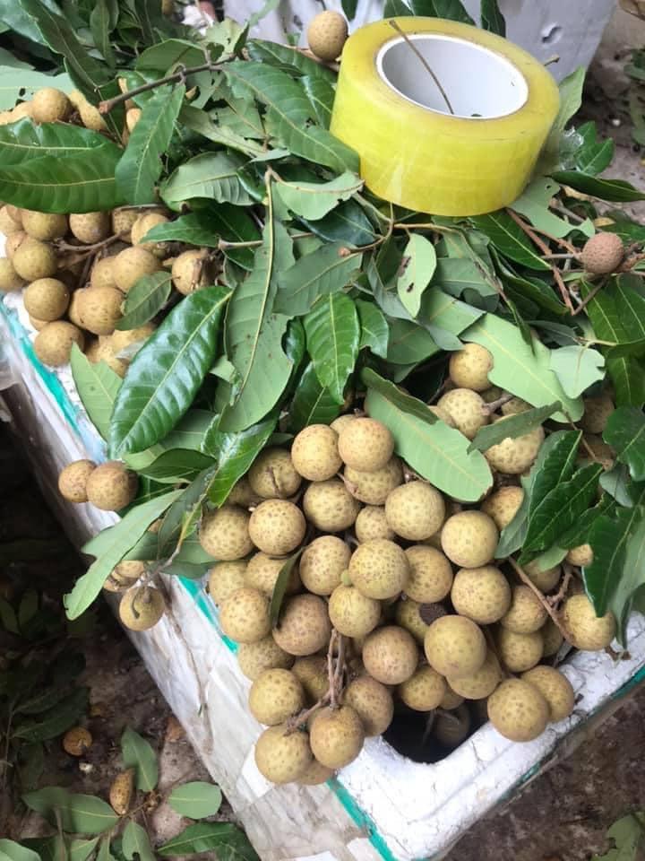 Nhãn quê chỉ 10.000 đồng/kg, chủ vườn khóc, người dân tranh thủ mua nhiều - Ảnh 7.