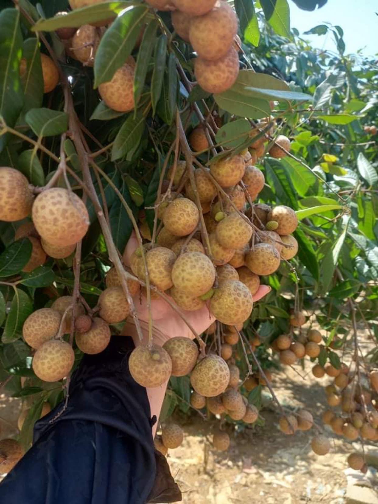 Nhãn quê chỉ 10.000 đồng/kg, chủ vườn khóc, người dân tranh thủ mua nhiều - Ảnh 8.