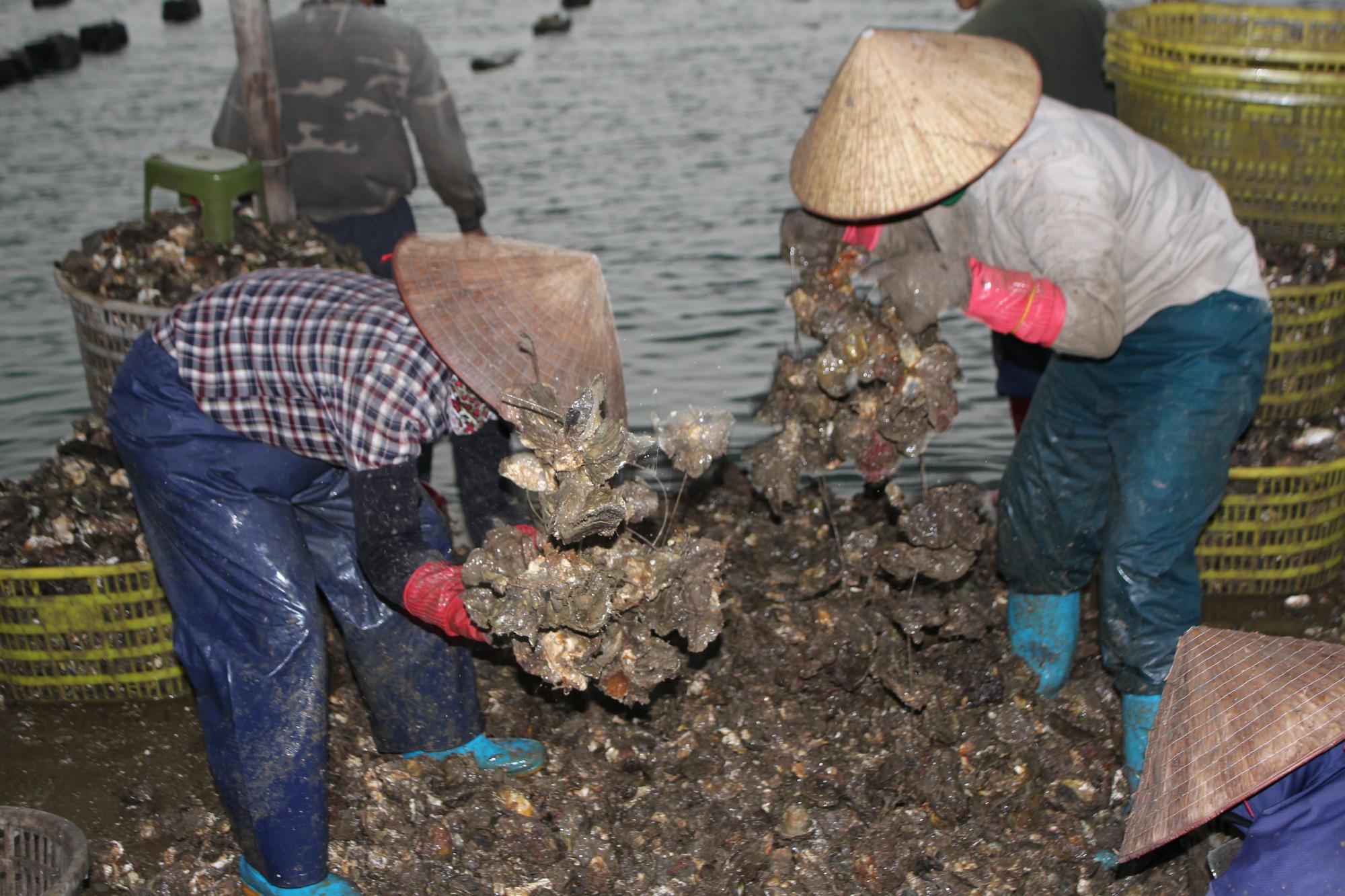Quảng Ninh: Hàu sữa rớt giá vì dịch COVID-19, ngư dân trắng đêm thu hoạch - Ảnh 3.