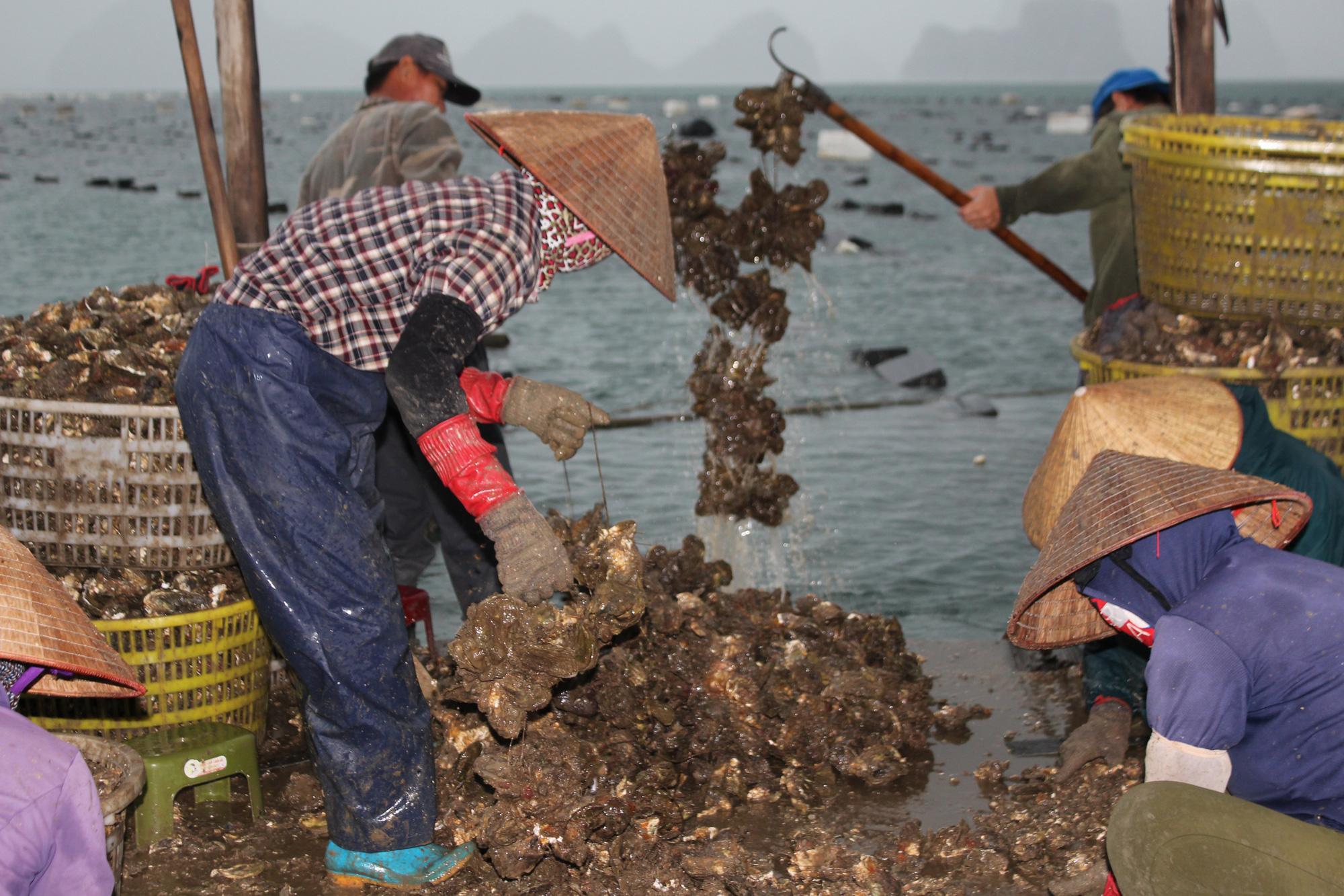 Quảng Ninh: Hàu sữa rớt giá vì dịch COVID-19, ngư dân trắng đêm thu hoạch - Ảnh 4.
