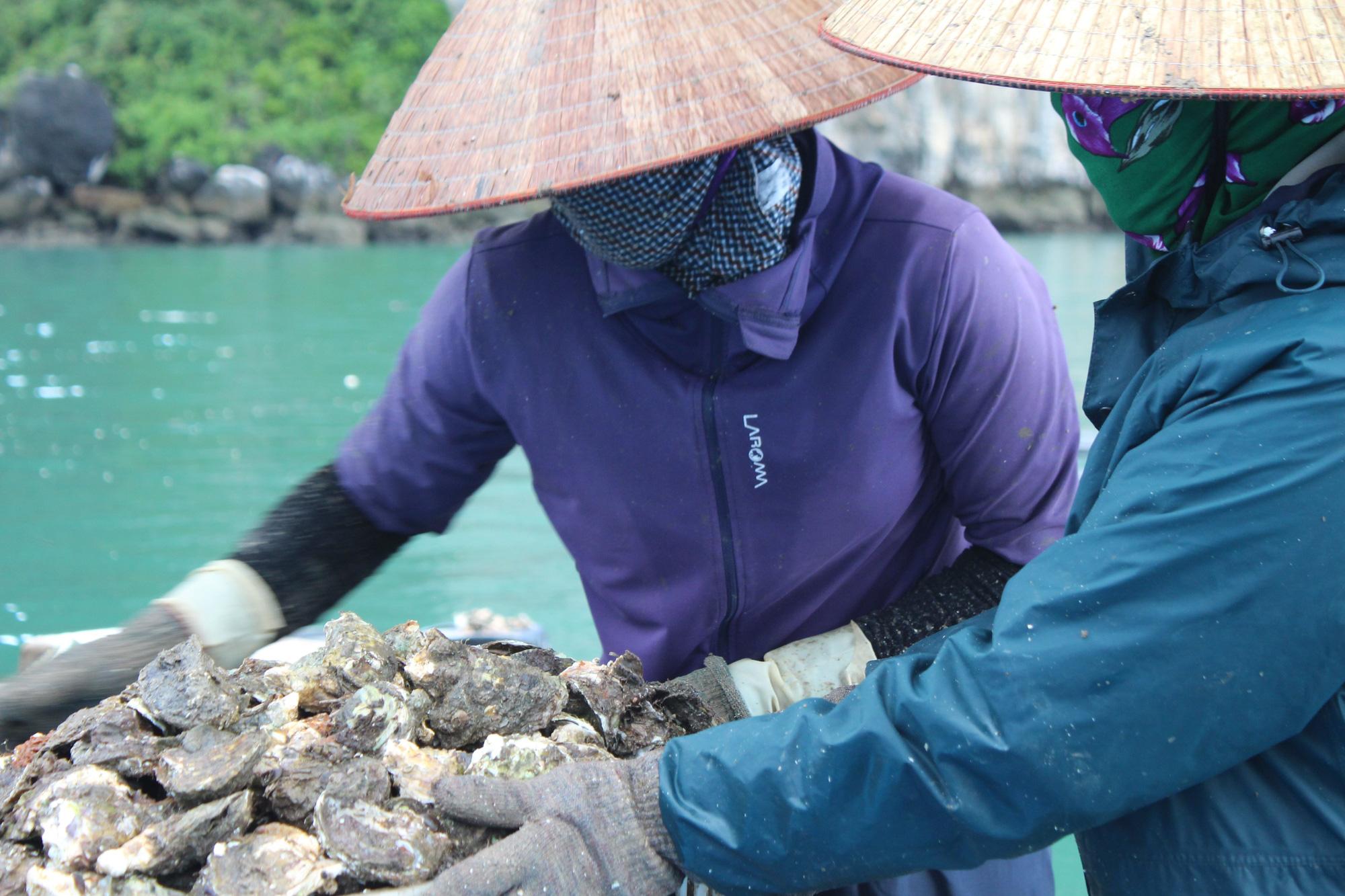 Quảng Ninh: Hàu sữa rớt giá vì dịch COVID-19, ngư dân trắng đêm thu hoạch - Ảnh 9.