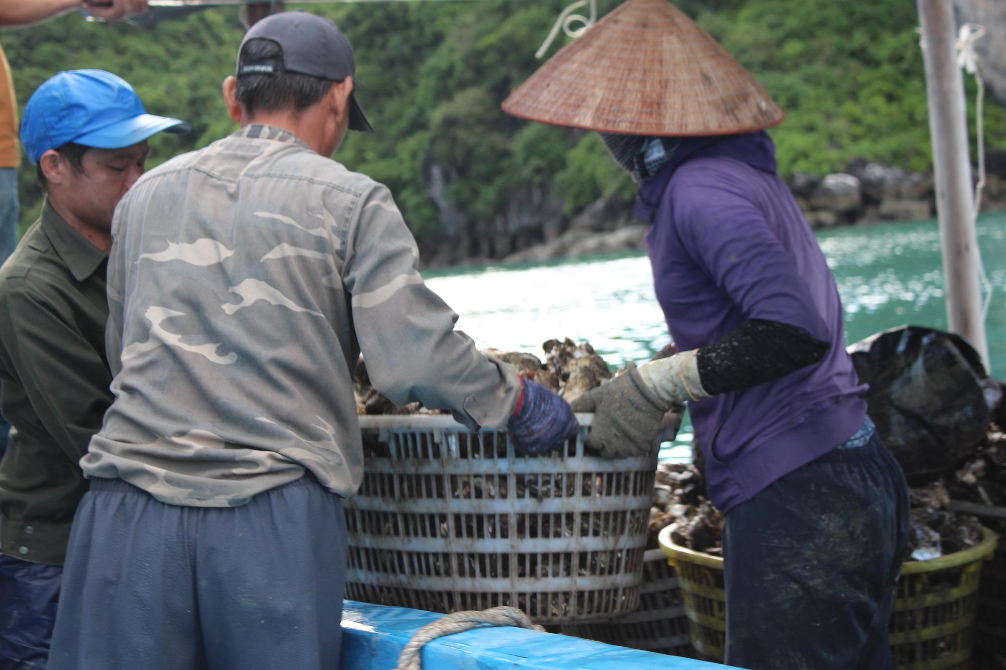 Quảng Ninh: Hàu sữa rớt giá vì dịch COVID-19, ngư dân trắng đêm thu hoạch - Ảnh 11.