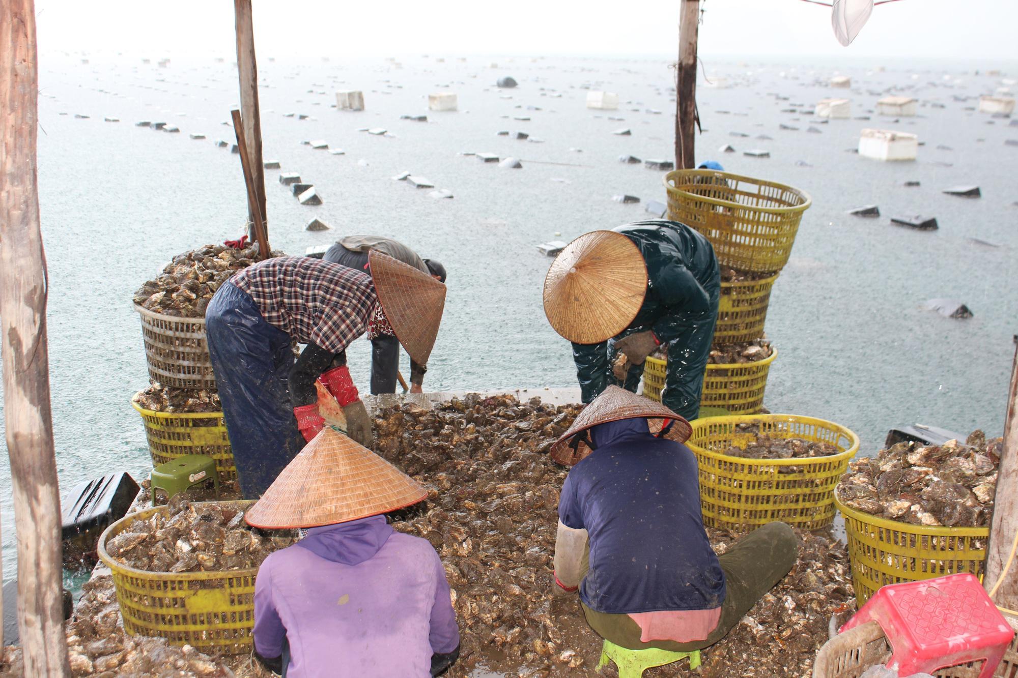 Quảng Ninh: Hàu sữa rớt giá vì dịch COVID-19, ngư dân trắng đêm thu hoạch - Ảnh 12.