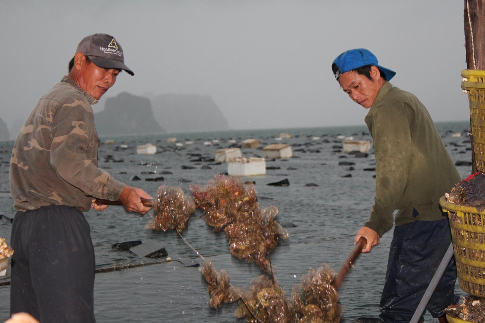 Quảng Ninh: Hàu sữa rớt giá vì dịch COVID-19, ngư dân trắng đêm thu hoạch - Ảnh 13.
