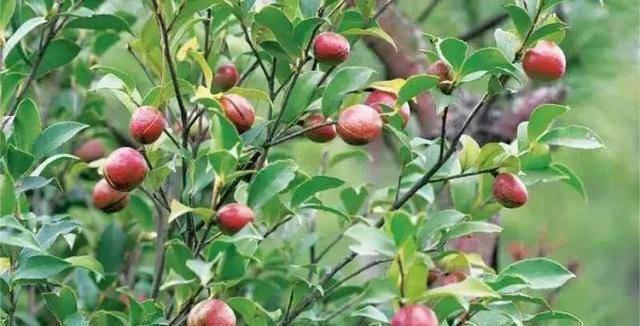 Loại cây mọc đầy ở Việt Nam, có hạt nhìn như phân thỏ, người Trung Quốc nhặt lấy ép ra dầu bán tiền triệu - Ảnh 1.