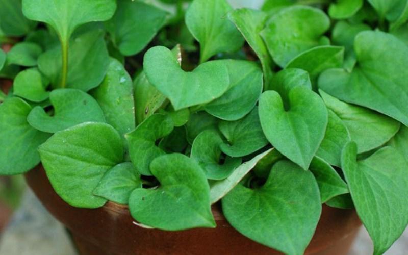 Loại rau tanh ngòm, mọc khắp vườn, trước dùng cho lợn ăn, mang sang Trung Quốc quý như vàng - Ảnh 3.