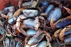 Cua đá núi đưa về Hà Nội được quảng cáo là 'ngon hơn cua biển, rẻ hơn cua đồng'