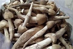 Có giá đắt ngang với giá cua hoàng đế, loại nấm này tại Việt Nam là đặc sản hiếm có khó mua