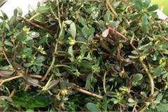 Loài rau dại mọc đầy ở Việt Nam mang sang nước ngoài trở thành 'thần dược', được gọi là rau trường thọ