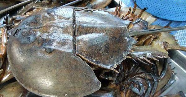 Sam biển về Hà Nội 1 triệu đồng/đôi nhưng máu của nó còn có giá cao khủng khiếp gấp trăm lần