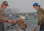 Quảng Ninh: Hàu sữa rớt giá vì dịch Covid-19, ngư dân trắng đêm thu hoạch