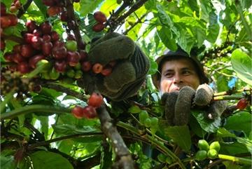 Coffee harvesting season in Central Highlands region
