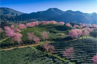 Stunning cherry blossoms in Sapa