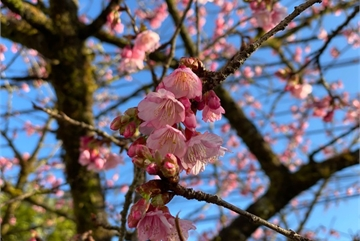Cherry blossoms in full bloom in Sapa