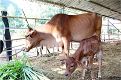 Abandoned rare gaurs develop under care in Ninh Thuan
