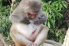 Monkey injured by human activities on Son Tra Peninsula