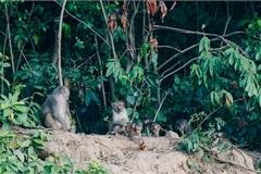 Wild monkeys changing eating habits in Da Nang peninsula