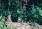 Wild monkeys changing eating habits in Da Nang peninsula