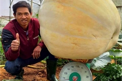 Giant pumpkins prepared for Halloween