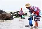 Da Nang residents earn big on seaweed season