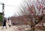 Peach blossoms cover Hanoi village