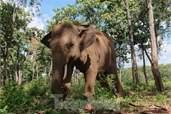One more elephant in Dak Lak dies