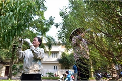 Hanoi peach growers preparing for Tet