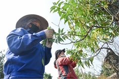 Hanoi peach growers busy trimming leaves before Tet