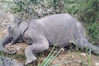 Last domesticated elephant in northern Central Highlands dies
