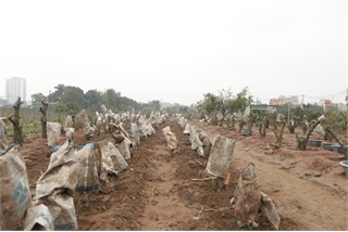 Hanoi growers replant peach trees after Tet