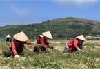 Garlic harvest in Ly Son Island