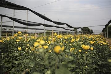 Hanoi flower growers hard hit by Covid-19
