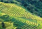 Ripening rice fields in Vietnam's northwestern region