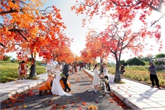 Hanoi red maple road attracts visitors