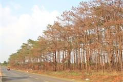 Pine forest poisoned in Central Highlands region