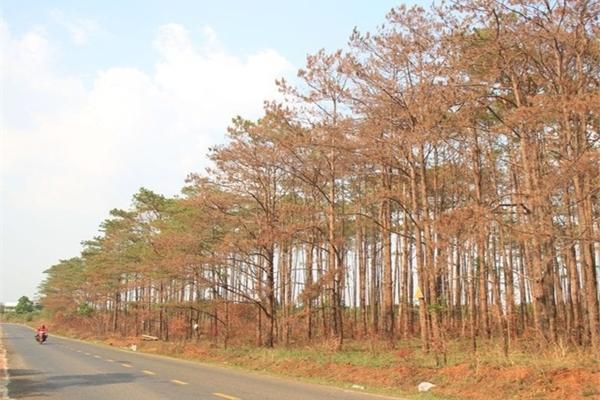 Pine forest poisoned in Central Highlands region