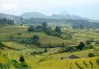 Rice harvest season begins in Ta Leng