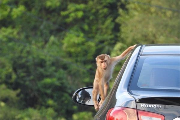 Da Nang monkeys flood city in search of food