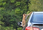 Da Nang monkeys flood city in search of food