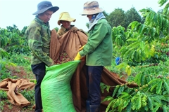 Coffee harvest season starts in the Central Highlands