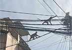 HCM City residents call for help over wild monkeys