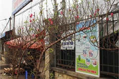 Peach flower branches put up for early sale in Hanoi